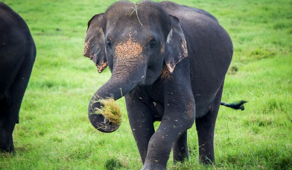 Opportunity to purchase elephant for Rs. 10 million