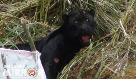 Black leopard freed from trap, dies