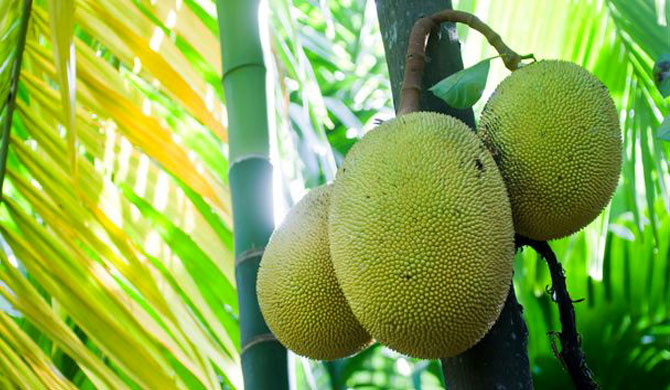 Jackfruit : the 'vegan sensation' that saved Sri Lanka