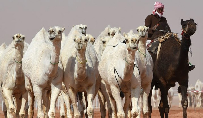 A Saudi man leads camels during a beauty contest as part of the annual King Abdulaziz Camel Festival in Rumah. Photo: AFP