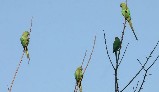 Farmers complain of Opium addicted parrots (Video)