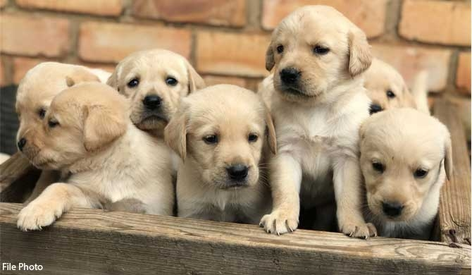 Poojith donates 7 labrador pups to police kennels