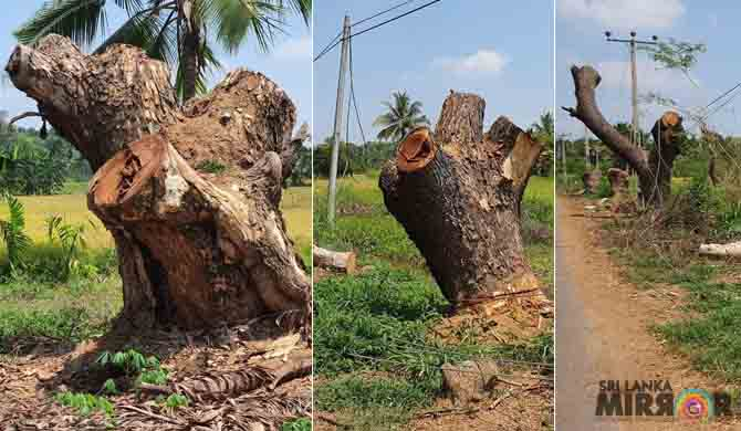 Massive trees felled to power rice mill (Pics)