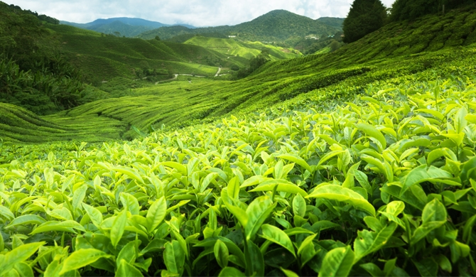 Demand for 'Ceylon Tea' declines?