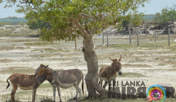 Why are the Kalpitiya donkeys facing extinction?