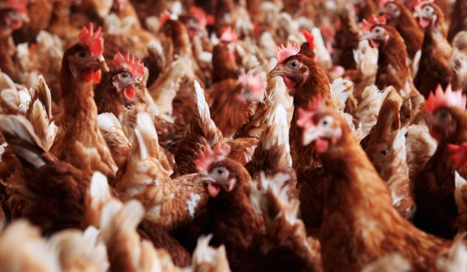 Battery cage method produces 3.3 million surplus eggs