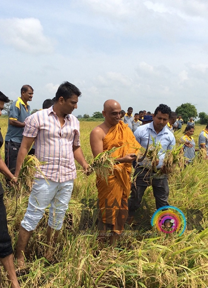 Rathana Thera takes part in paddy harvesting!