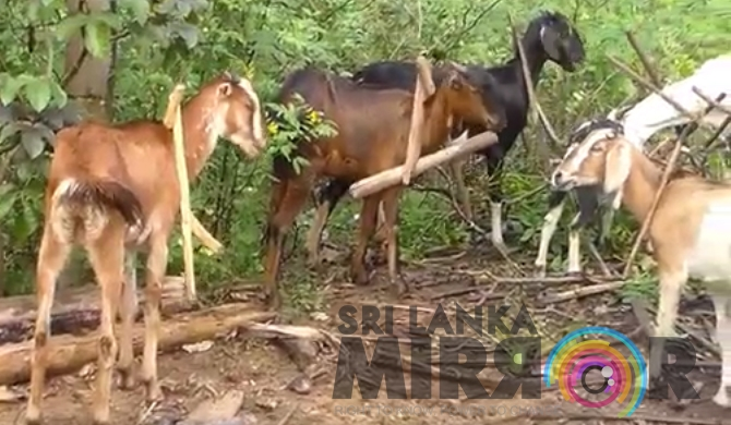 Animal cruelty in Kalpitiya (Video)