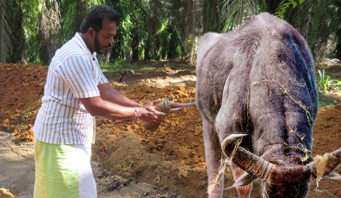 Farmers angered by Thewarapperuma releasing buffalos