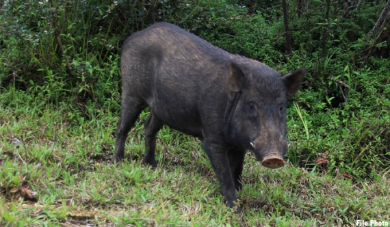 Wild Boar served at hotel of Wildlife minister's wife