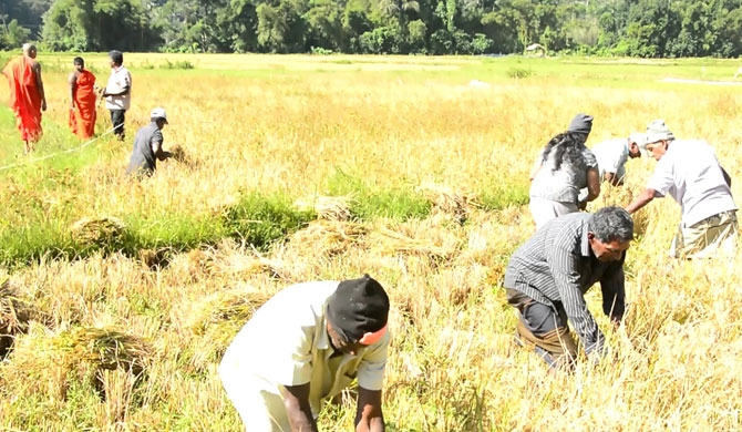 Abandoned paddy field ploughed and harvest offered to Sasana (Pics)