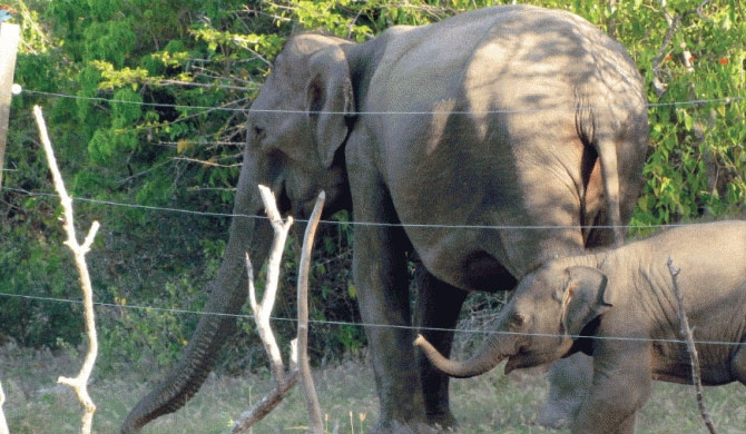 First elephant fence using concrete posts in Trinco