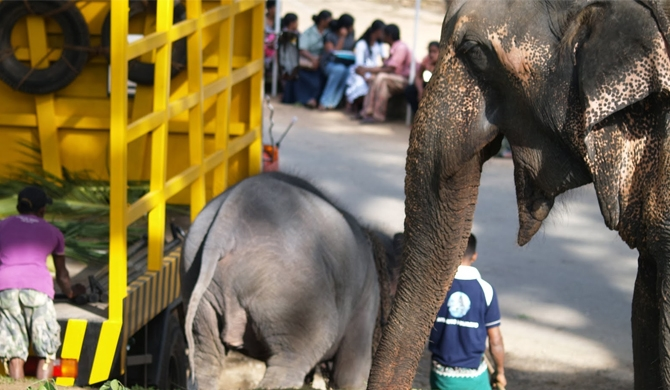 Sri Lanka overturns ban on adopting baby elephants