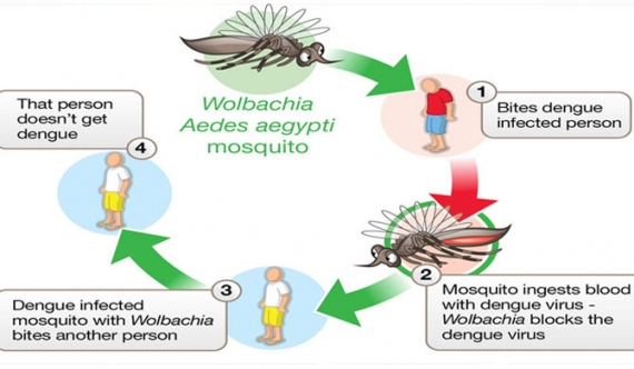 Wolbachia bacteria to be released to control dengue