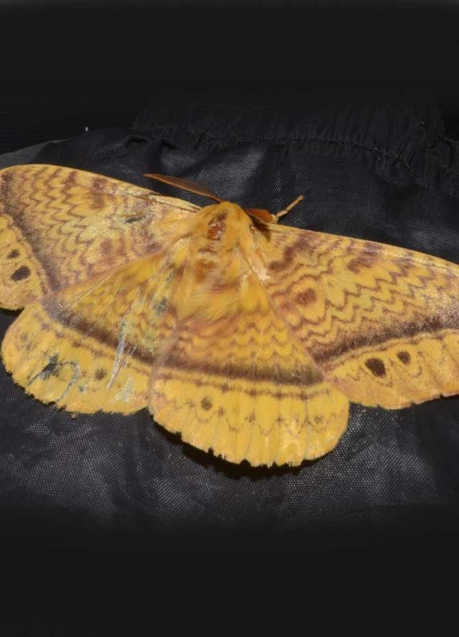 Majestic moth sighted in Puttalam! (pics)