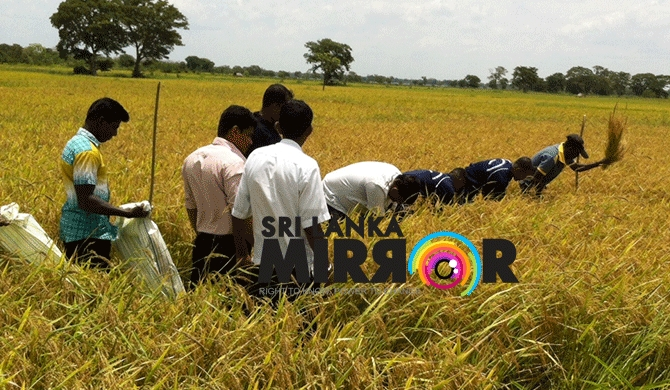 High harvest from organically-cultivated paddy