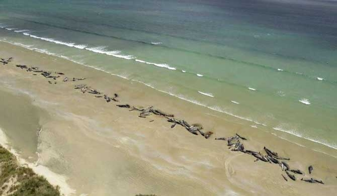 145 Pilot whales stranded on NZ beach