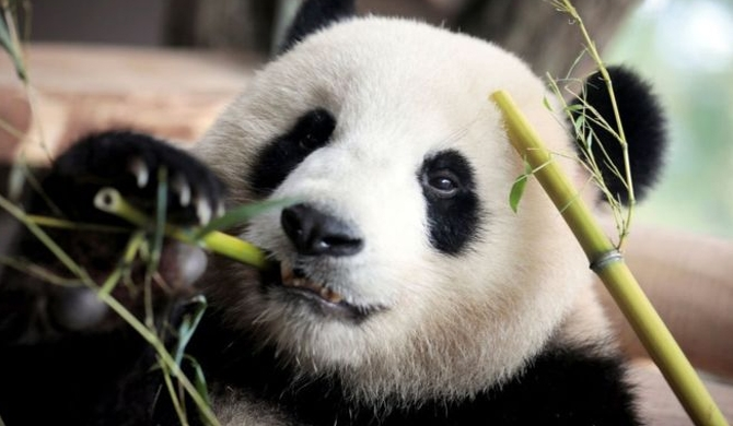 Firm to make 'Panda poo' tissue paper