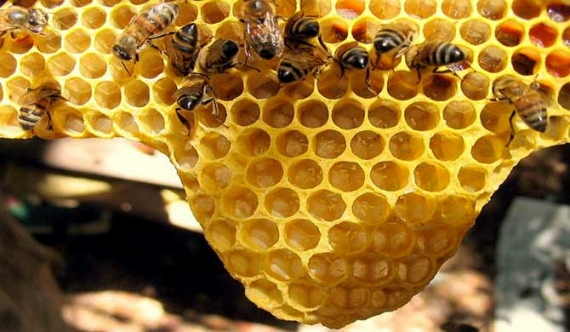Plague hits bee colonies